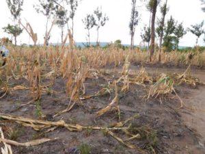 failed crops